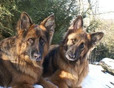 Toby and Cassie. German Shepard Dogs