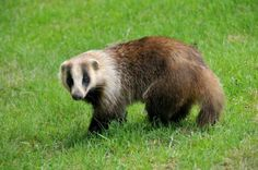 Learn more about Japanese Badger through images and related places. The Japanese badger (Meles anakuma) is a species of carnivoran of the family Mustelidae, the . Badger Pictures, Interesting Animals, Interesting Facts, Honey Badger, Types Of Animals, Rare Animals, Wild Animals, Animal Species, Animal Facts