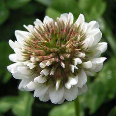 fleur de trèfle blanc rampant