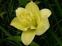 Cabbage Flower or Daylily (Hemerocallis). Photo by Marianne Joordens. Cabbage Flowers, Day Lilies, Gain, Dreams, Gallery, Plants, Planters, Plant, Planting