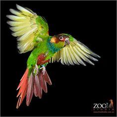 Zoo studio, Brisbane.  Parrot in flight.