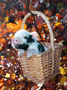 A pig in a basket!!