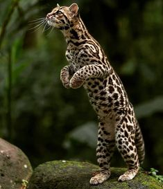 """Big Cats WildLife on Instagram: """"The beautiful 😍 Margay is a small wild cat native to Central and South America. Did you know the Margay possess the ability to rotate its…"""" Small Wild Cats, Small Cat, Big Cats, Cute Cats, Cute Baby Animals, Animals And Pets, Funny Animals, Nature Animals, Wildlife Nature"""