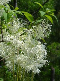 Flowers: White Fringe Tree-- smells amazing and love that they bloom in late Spring, when the other flowers disappear-- it's a wonderful surprise! :)