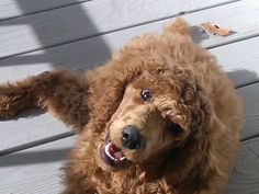Standard poodle, 14 weeks old Red Poodles, French Poodles, Standard Poodles, Truffle Hunting, Therapy Dogs, Hunting Dogs, Shiba Inu, Best Dogs, Miniature
