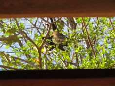 A howler monkey troop paying a visit in Pueblo Verde for fresh leaves - right outside a resident's kitchen window!