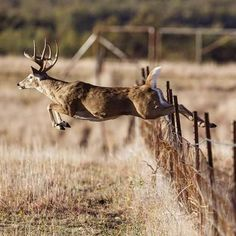 To see a deer clear a fence is awesome! Whitetail Deer Pictures, Deer Photos, Whitetail Hunting, Whitetail Bucks, Mule Deer Hunting, Big Deer, Deer Family, Rare Animals, Strange Animals