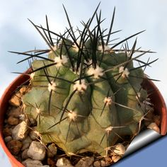 Copiapoa streptocaulon