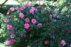 Our romantic garden