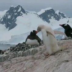 Cute Baby Animals, Animals And Pets, Funny Animals, Animals Photos, Gentoo Penguin, Before After Photo, Nature Gif, Mundo Animal, Albino