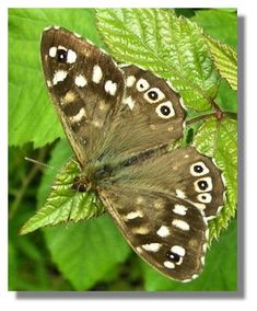Speckled Wood-(male) woodland habitat, slightly damp, tall grass, some dappled shade. Feeds on honeydew in the treetops Types Of Butterflies, Beautiful Butterflies, Wood Butterfly, Moth Caterpillar, Madame Butterfly, Natural World, Natural History, Great Britain, Pet Birds