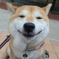 Uni a Shiba Inu that lives In Tokyo. Makes the BEST faces!