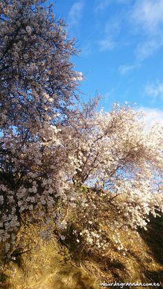 #Almendros en flor en #Sorvilán #Alpujarra #Granada