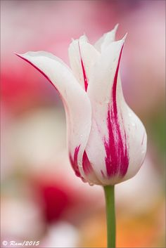 ~~Tulip by Floral Colors~~