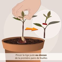Growing an avocado: technique planting and watering the avocado