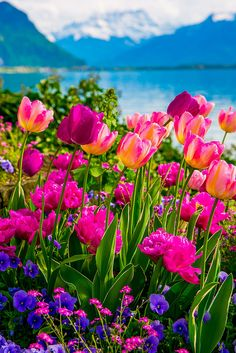Pink and purple Tulips of Switzerland, Spring time, flowers with the Swiss Alps in the background. Lake Geneva.