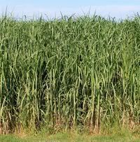 Studies by the Agrobiology Centre at the state Brazilian Agricultural Research Corporation (Embrapa) are finding that elephant grass has great potential as a biomass crop that can be used for the production of green heat, power and electricity.