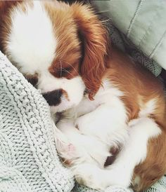 The many things we all admire about the Cute Cavalier King Charles Spaniel Dogs Cute Baby Animals, Animals And Pets, Funny Animals, I Love Dogs, Cute Dogs, Animals Beautiful, Dogs And Puppies, Doggies, Cute Puppies And Kittens