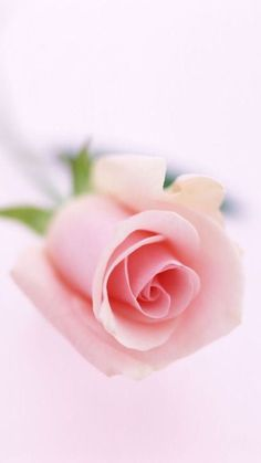pink rose ✿⊱╮