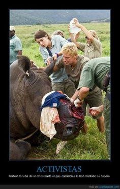 Salvando a un rinoceronte al que furtivos han mutilado - Salvan la vida de un rinoceronte al que cazadores le han mutilado su cuerno