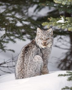Wild Lynx kitten in the Canadian Rockies - Colleen Gara (@colleengaraphoto) on Instagram