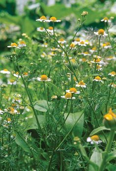 Herbs: the two most common types of chamomile are the annual German chamomile…