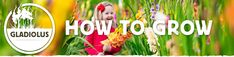Learn how to grow Gladiolus. Includes information on siting and spacing, planting times, preferred soil conditions, available sunlight, water needs, mulching, dividing and transplanting, and everything else you need to know to grow this early summer cutting flower.