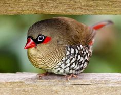 The Nature Conservancy in Australia  Lovely red-eared firetail! Photo credit: WilbaAtFlickr