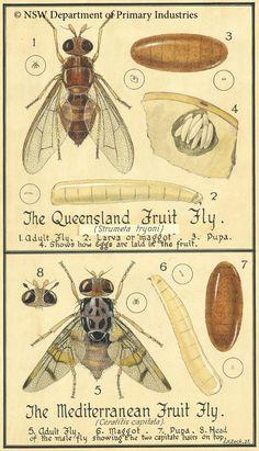 Queensland and oriental fruitflies