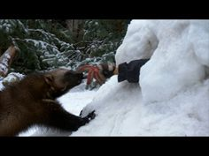 Wildlife 'whisperer' trains wolverines for mountain rescue (VIDEO) — RT Viral