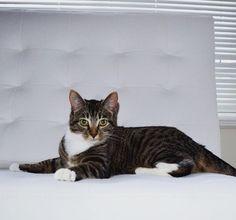 Meesha Cat | Pawshake