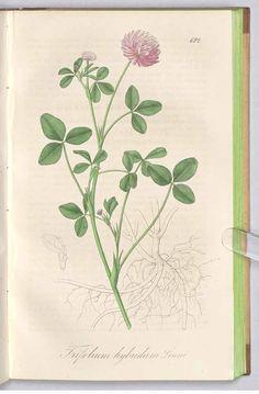 clover 241723 Trifolium hybridum L. / Dietrich, A.G., Flora regni borussici, vol. 10: t. 692 (1842) [A.G. Dietrich]