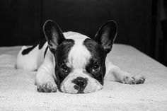 .: french bulldog :.
