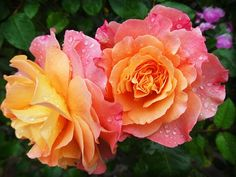 Rose, Nature, Flower, Flowers