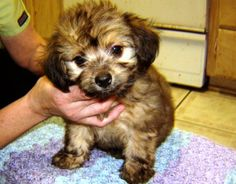 Tiny Chippodle ready to be trained by a loving owner