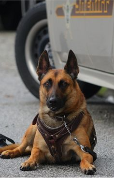 A Belgian Malinois with the International Police Work Dog Association. - policemag.com - POLICE Magazine