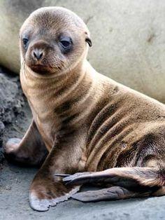 Baby Sea Lion!