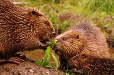 Beavers were reintroduced to Argyll, Scotland in 2009 in a trial which runs until 2014.
