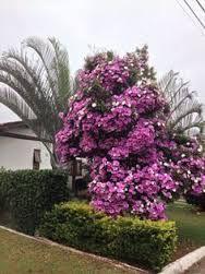Resultado de imagem para manaca da serra floridos