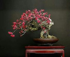 Flowering Apricot (Prunus mume) Bonsai Tree.
