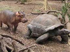 Afbeeldingsresultaat voor hippo