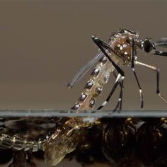 Releasing genetically modified mosquitoes in the Florida Keys? To combat a Zika problem, that is not even here in the US yet. They won't be happy until they kill us all with their genetically modified experiments.