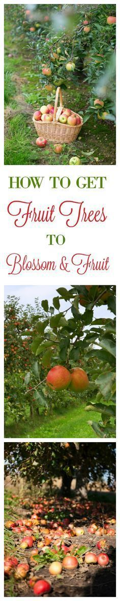 to Get Fruit Trees To Blossom amp; Fruit Come Learn What This Old Time Method Is For Making a Fruit Tree Blossom amp; FruitCome Learn What This Old Time Method Is For Making a Fruit Tree Blossom amp;