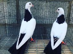 Beautiful Chickens, Beautiful Birds, Pakistani Pigeon, Pigeon Pictures, Pigeon Breeds, Homing Pigeons, Pigeon Loft, Pigeon Bird, Fancy Chickens
