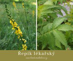 Řepík lékařský Edible Plants, Herbs, Food, Essen, Herb, Meals, Yemek, Eten, Medicinal Plants