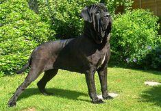 Dog Breeds - Giant - Neapolitan Mastiff 1