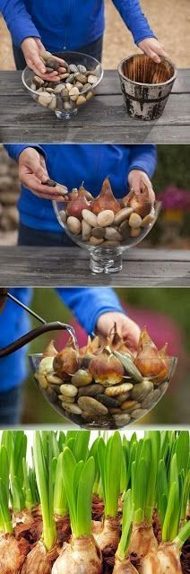 DIY Deko Ideen, mit denen Sie den Frühling nach Hause holen Creative idea, flower bulbs in glass with decoration stones Related posts: DIY decoration ideas to bring spring home How to decorate your home stylish! Garden Plants, Indoor Plants, Garden Bulbs, Container Gardening, Gardening Tips, Indoor Gardening, Gardening Apron, Plantas Indoor, Pot Jardin