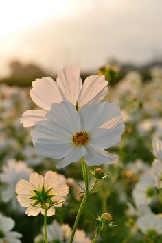 Cosmos - Annual sun lovers.  Will reseed under right conditions.