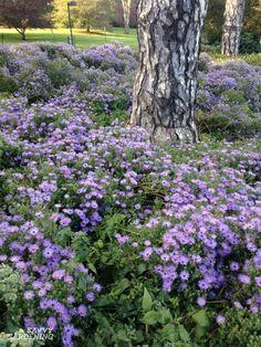 Asters: Late-season perennials with punch Autumn Garden, Plants, Miniature Garden, Country Gardening, Garden Site, Bulb Flowers, Country Garden Flowers, Perennials, Colorful Garden