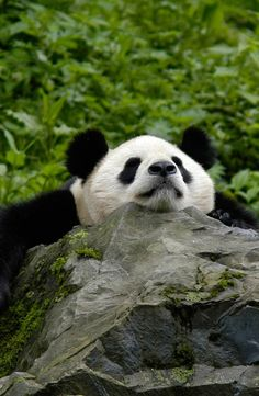 The giant panda is the rarest member of the bear family and among the world's most threatened animals.